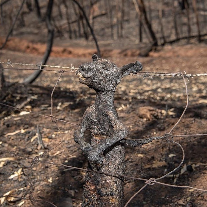 A baby kangaroo, burned to death on a fence.  Credit: @earthfocus on Instagram